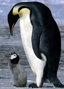 penguin and mom (or dad)